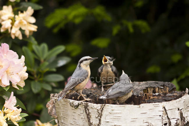 Mockingbirds, nuthatch birds outdoors — Stock Photo