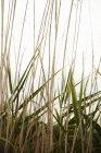Primo piano di steli verdi e secchi di giunco a sfondo chiaro — Foto stock