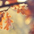 Sole splendente attraverso foglie di quercia gialla — Foto stock
