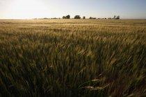 Vista panorámica del campo agrícola verde y puesta de sol en el horizonte - foto de stock