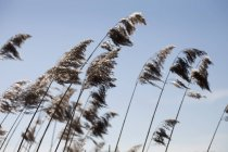 Lush stems of bulrush under clear sky — Stock Photo