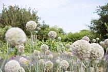 Flowering stems of garlic in garden against blue sky — Stock Photo
