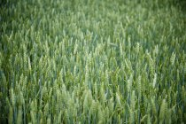 Full frame of green crop in farm — Stock Photo