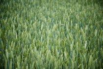 Full-Frame-der grüne Ernte in Hof — Stockfoto