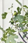 Close up of fig tree with unripe fruit and white wall at background — Stock Photo