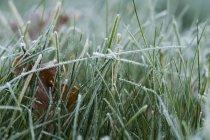 Close-up de grama gelada com gelo branco — Fotografia de Stock
