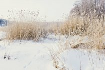 Lush stems of bulrush on snow-cowered field — Fotografia de Stock