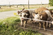 Pigs in pen for cattle on farm near road — Stock Photo