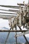 Сушеная рыба висит на бамбуковые палочки — стоковое фото