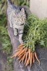 Висока кут зору сірий кіт таббі і свіжої морквою зв'язка на дерев'яні лавки — стокове фото
