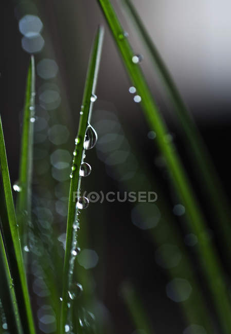 Macro view of water drops on green blades of grass — Stock Photo