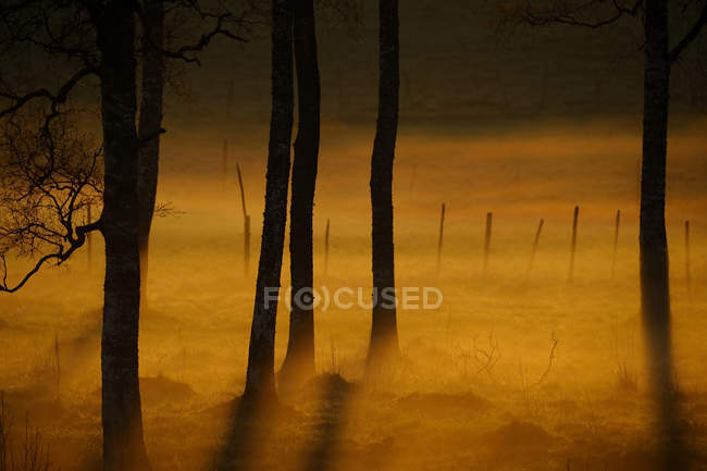 Silhouettes of forest trees in orange morning fog - foto de stock