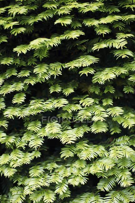 Dichtes Laub auf Bäumen Äste — Stockfoto