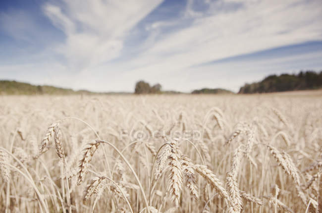 Wheat field under blue cloudy sky — Stock Photo