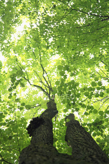 Bottom view of green leaves on tree — Stock Photo