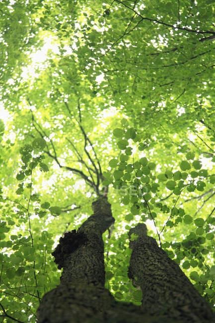 Vista inferior de folhas verdes na árvore — Fotografia de Stock