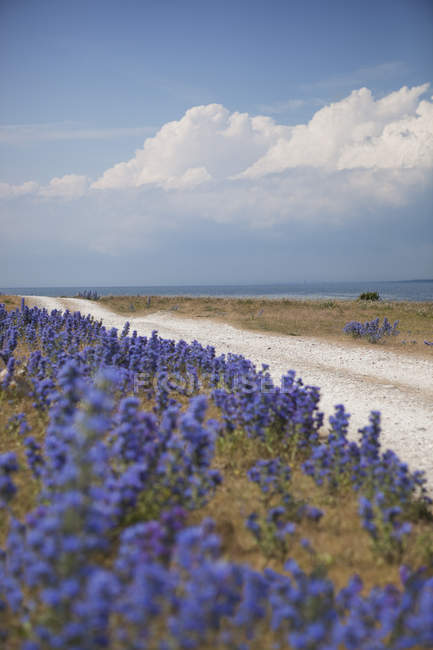 View of country road with Lavender bushes on roadside — Stock Photo