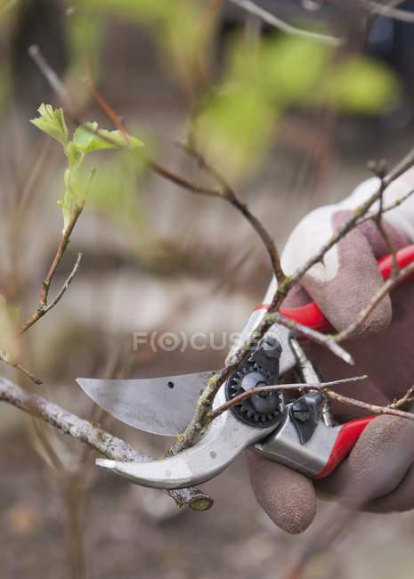 Poda de ramas se levantó con podadora de primavera - foto de stock