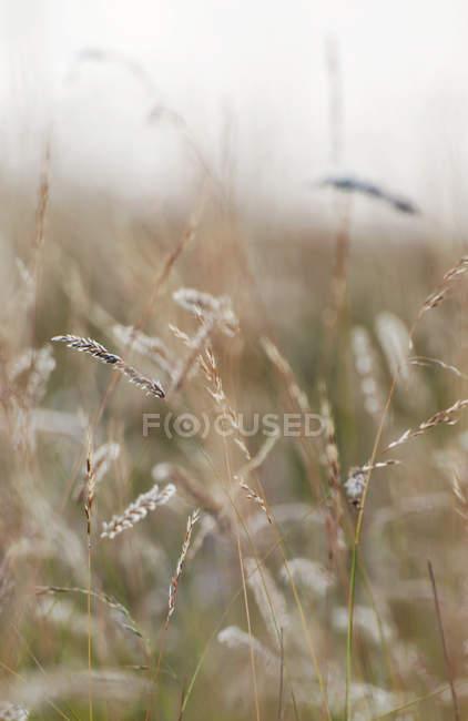 Blick auf Weizenfeld mit unscharfen Hintergrund — Stockfoto