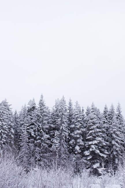 Живописный вид на покрытые снегом ели — стоковое фото