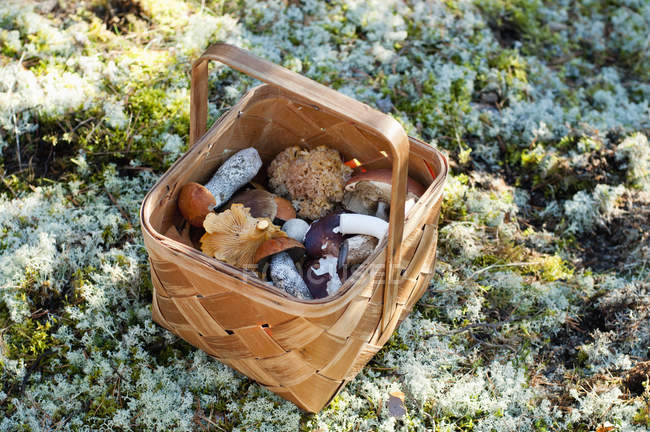 Wicker basket with Freshly picked mushrooms on moss — Stock Photo