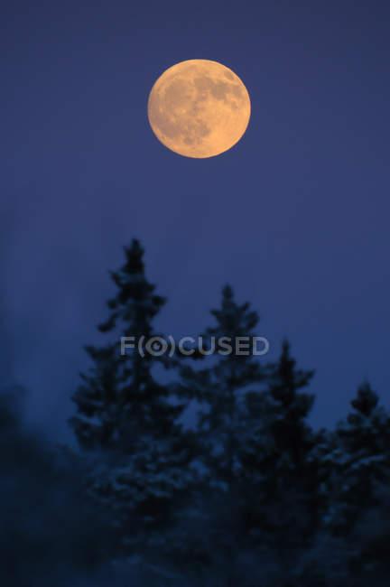 Помаранчевий повного місяця над топи ялин — стокове фото