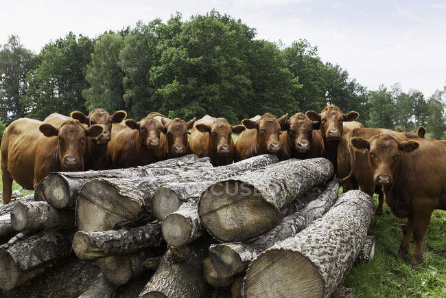 Large group of cows in front of logs — Stock Photo