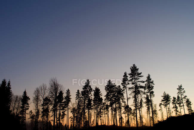 Silhouette of trees in forest against clear sky at dusk — Stock Photo