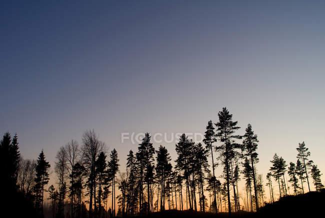 Silueta de los árboles en el bosque contra el claro cielo al atardecer - foto de stock