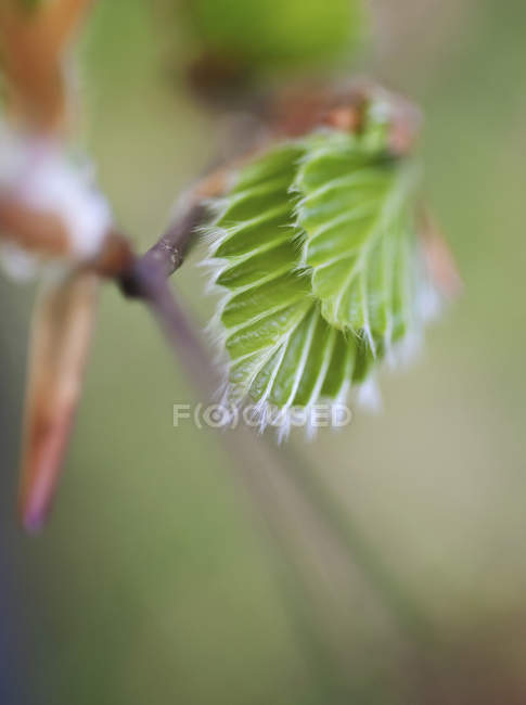 Details of young leaves on branch at spring season — стоковое фото