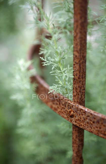 Primo piano della recinzione in ferro arrugginito con assenzio — Foto stock