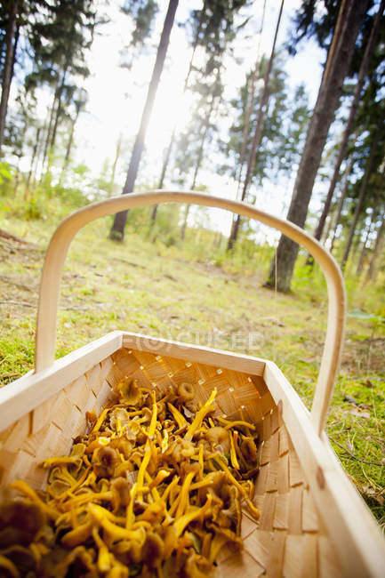 Freshly harvested mushrooms in wooden basket at forest — Stock Photo