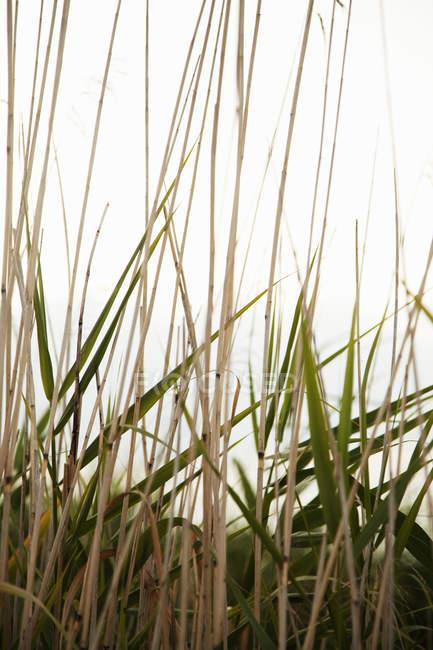 Крупным планом зеленого и сухих стеблей камыша на светлом фоне — стоковое фото