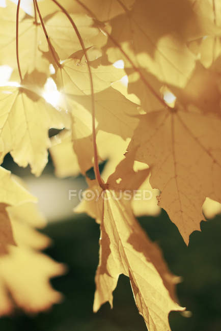 Soleil qui brille à travers des feuilles d'érable jaune — Photo de stock