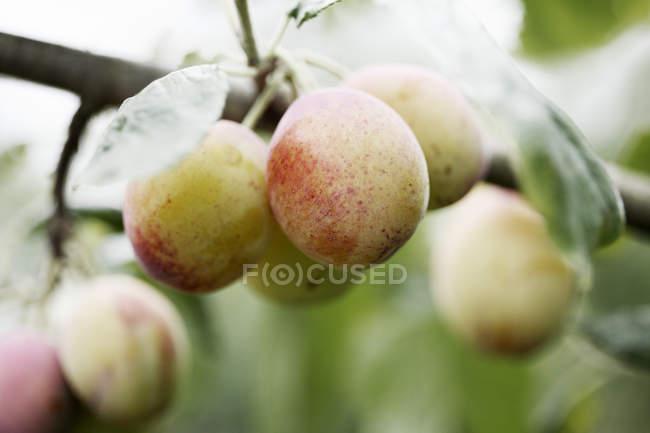 Close-up de peras verdes crescendo na árvore — Fotografia de Stock