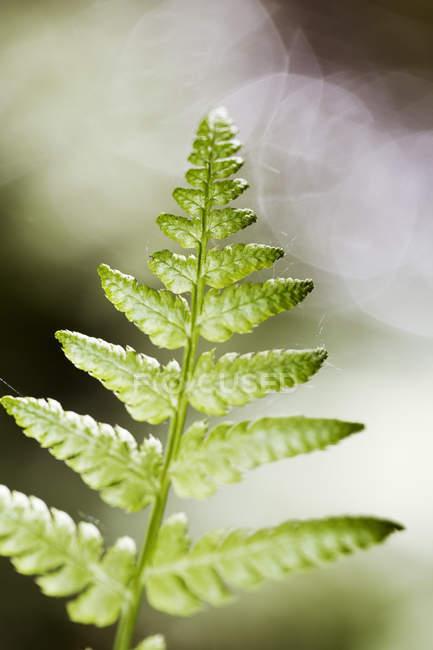 Крупным планом зеленых листьев папоротника с размытым фоном — стоковое фото