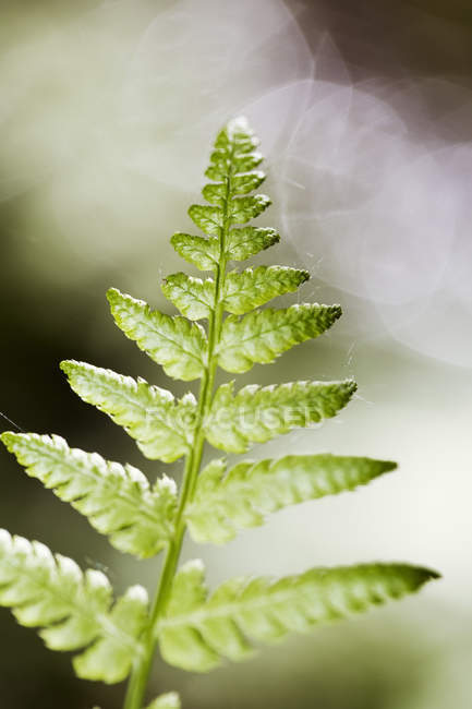 Close-up of green leaf fern with blurred background — Stock Photo