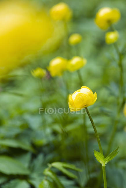 Close-up of yellow meadow buttercups with green leaves outdoor — Stock Photo