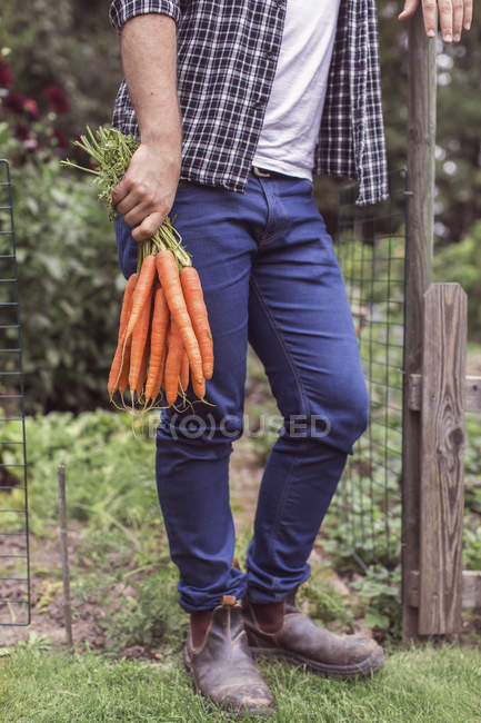 Low section of man holding freshly harvested carrots at organic farm — Stock Photo