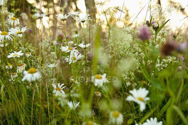 Foco seletivo de flores selvagens e relva verde ao ar livre — Fotografia de Stock