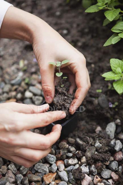 Gros plan des mains féminines tenant des plantes vertes dans le sol — Photo de stock