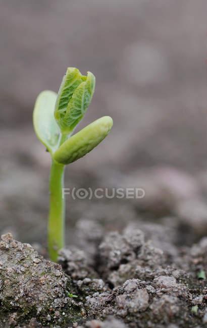 Close-up de pequena planta que cresce no solo — Fotografia de Stock