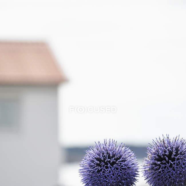 Крупным планом диких фиолетовые цветы на открытом воздухе и силуэт на фоне дома — стоковое фото