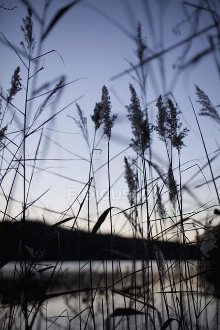 Exuberante tallos de Junco bajo cielo claro - foto de stock