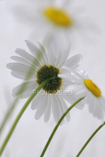 Low angle view of oxeye daises at white background — Stock Photo