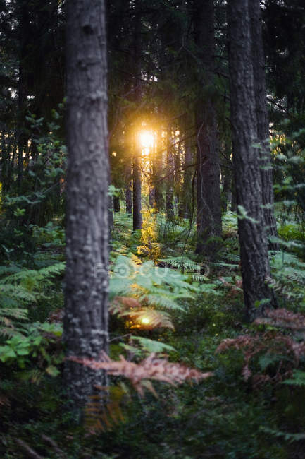 View of tree trunks in dense forest and breaking sunlight — Stock Photo