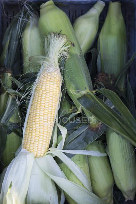 Высокий угол зрения кукурузные початки — стоковое фото