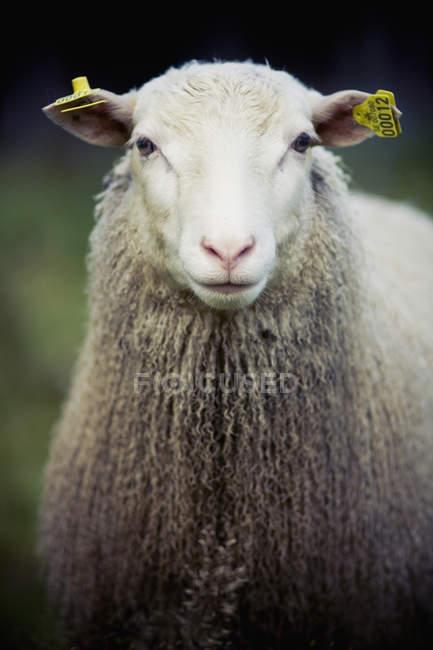 Vista frontal de esponjosas ovejas con las etiquetas en las orejas en el bosque - foto de stock