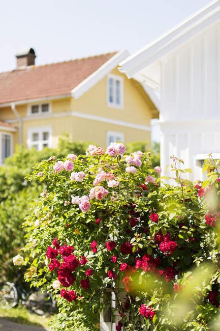 Roseiras flores fora mansão — Fotografia de Stock