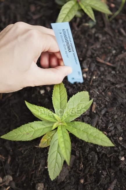 Weibliche Hand mit Preisschild mit Namen der Pflanze — Stockfoto